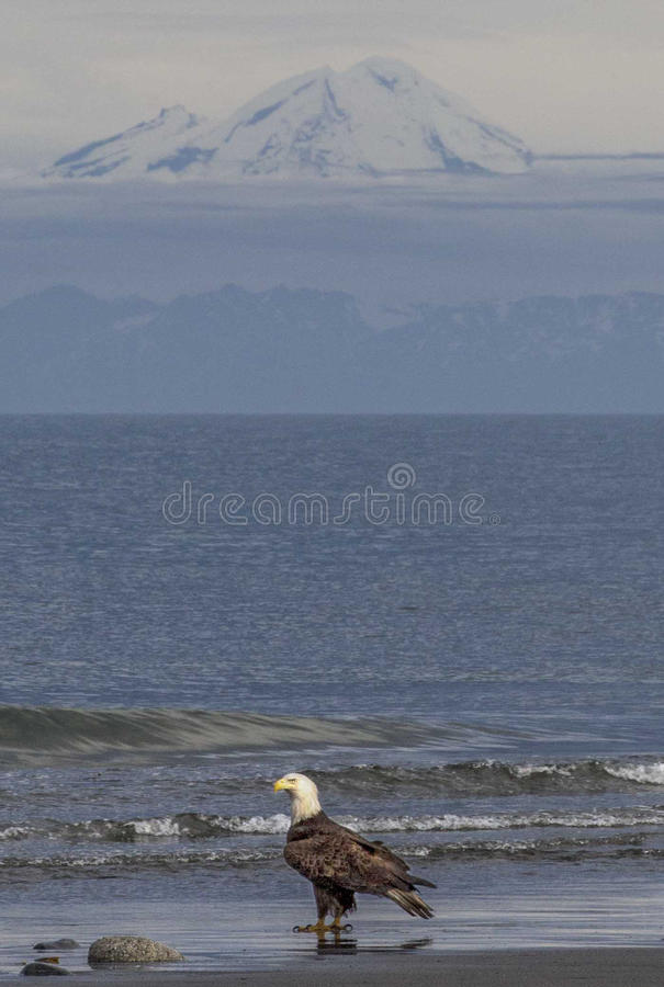 Bald eagle on beach in Cook Inlet Alaska stock photography