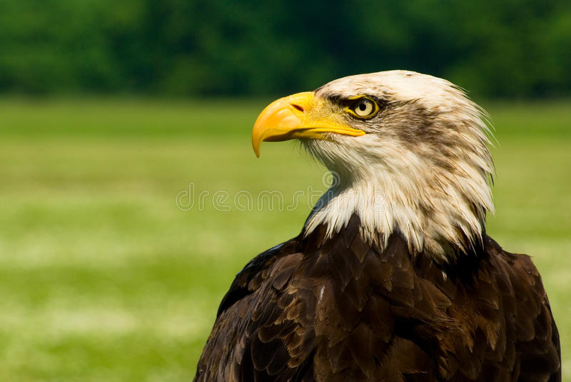 Download Bald eagle stock photo. Image of feather, background - 14858438