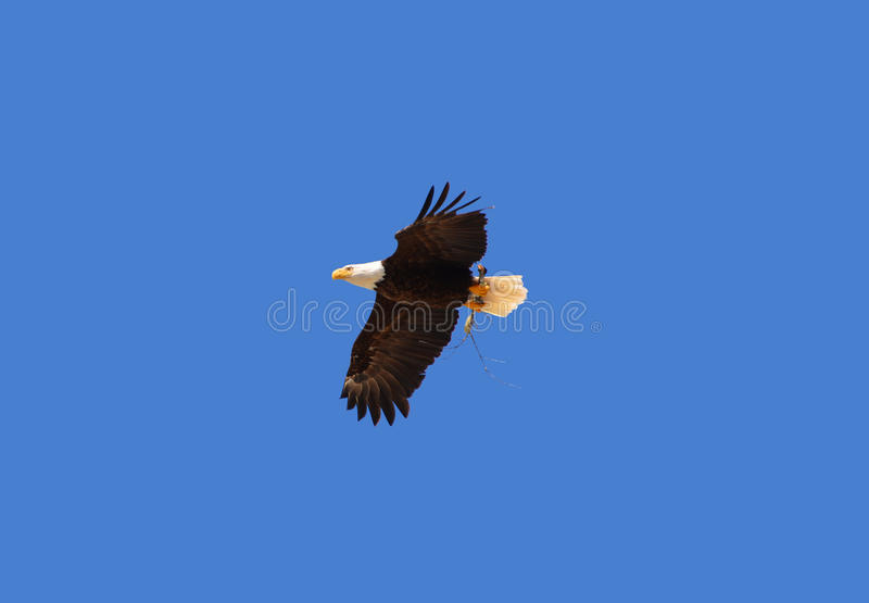 The bald eagle royalty free stock photography