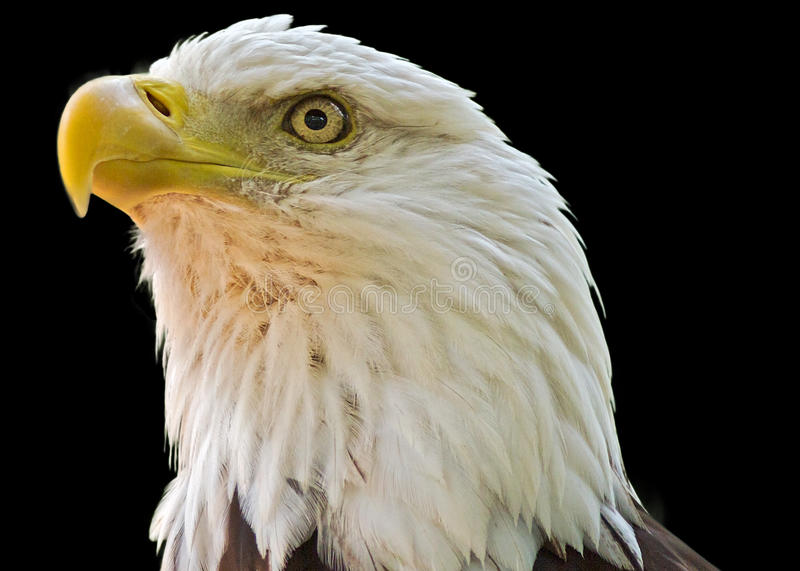 Bald eagle on black background stock image