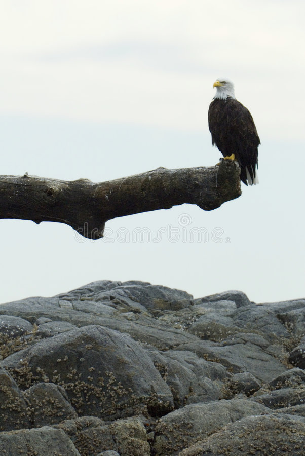 Bald eagle at a branch. A beautiful bald eagle posed on his hunting lookout at the pacific coast of vancouver island royalty free stock photos