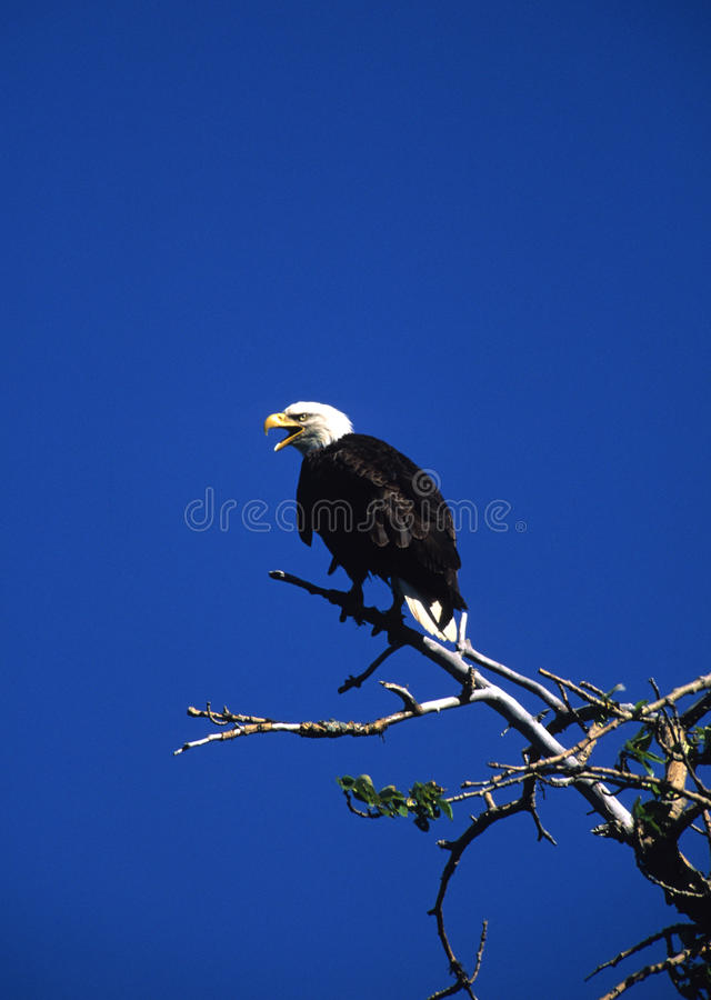 Bald Eagle Calling From Tree royalty free stock photos