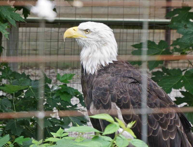 A Bald eagle in captivity. A Bald Eagle stares fiercely at visitors to the zoo. Though caged, it has an air of independence and freedom stock photos