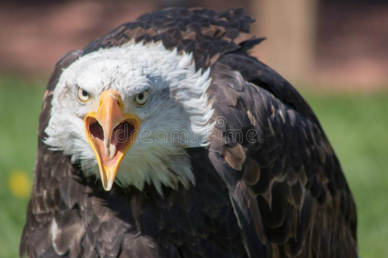 Bald Eagle Close-Up. Bald Eagle (haliaeetus leucocephalus) is a. Bird of prey found in North America stock photos