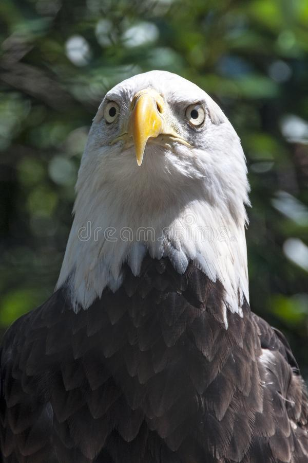 Bald Eagle close up. royalty free stock photography