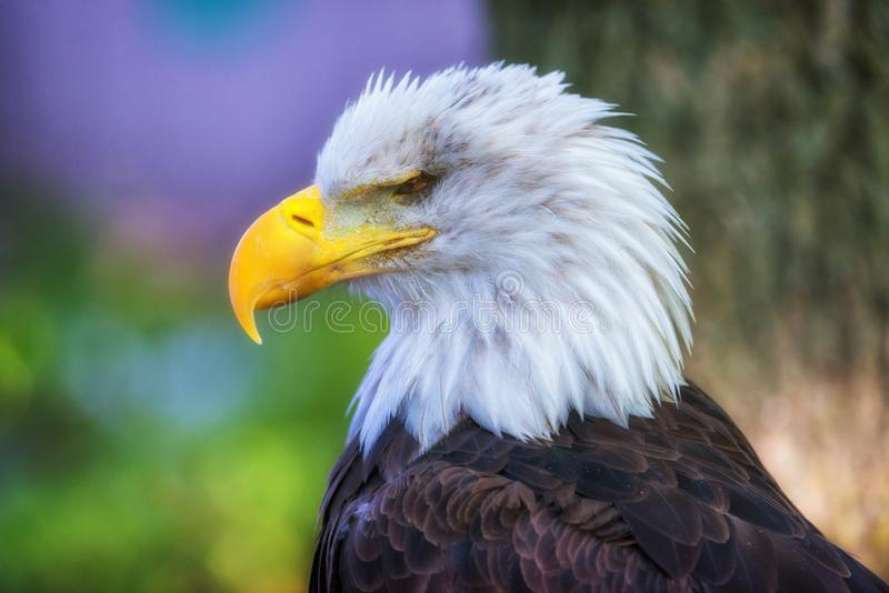 Bald Eagle, close-up side view royalty free stock photography