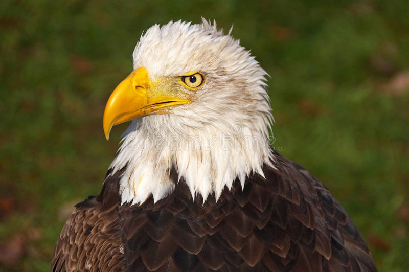 A bald eagle royalty free stock photography
