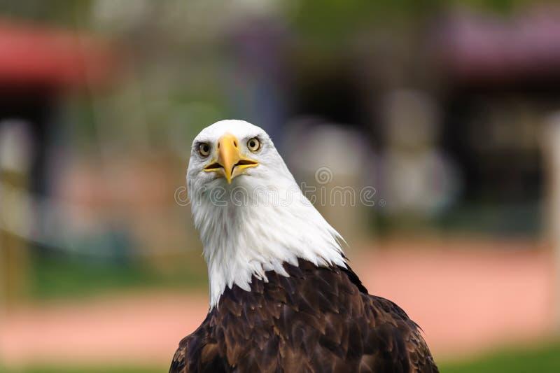 Bald Eagle closeup stock image