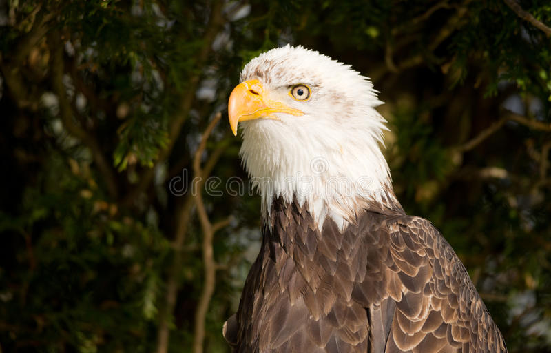 Download Bald Eagle stock photo. Image of powerful, strong, carnivore - 31056006