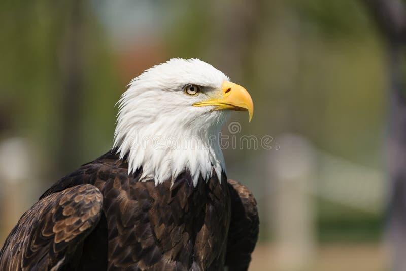 Bald Eagle closeup profile royalty free stock photo