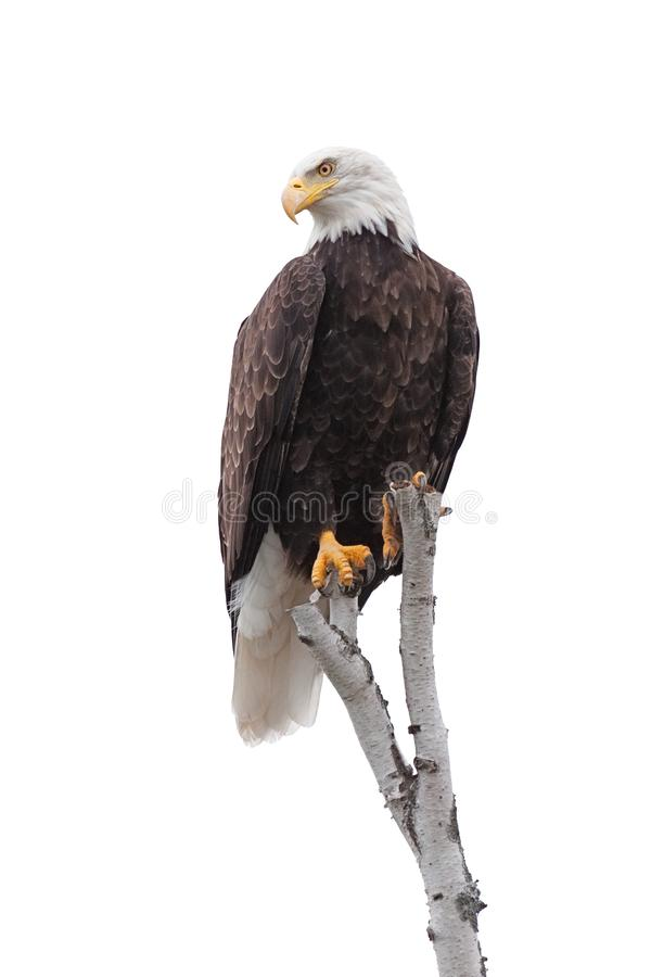 Bald Eagle Clutches to the Top of a White Birch Tree stock images
