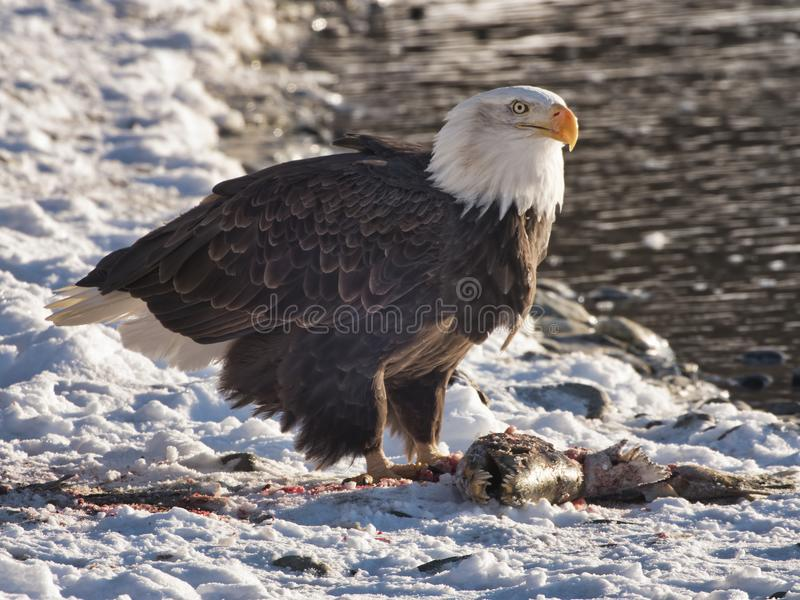 Bald Eagle eating salmon on the Chilkat River royalty free stock photography