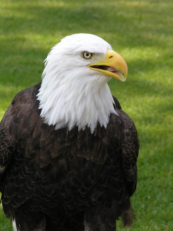 Bald Eagle Facing Right 2 stock photos