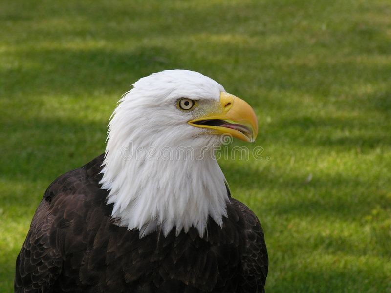 Bald Eagle Facing Right 3 stock image