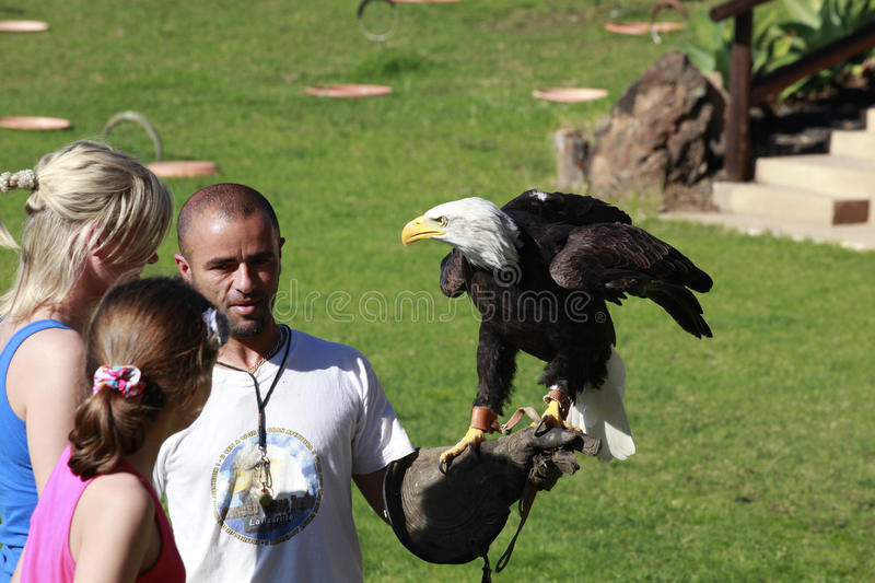Download Bald Eagle On A Falconer's Hand Editorial Stock Image - Image: 19757829