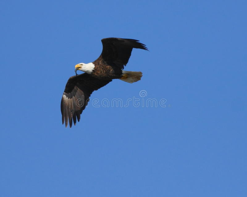 Bald Eagle With Fish Royalty Free Stock Photos