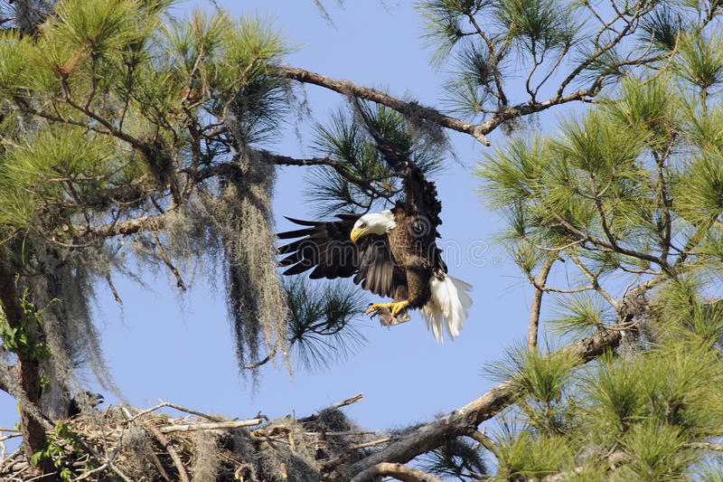 Bald eagle with a fish. An adult bald eagle returns to the nest with a fish royalty free stock photos