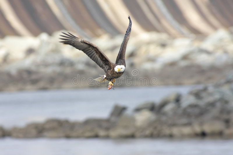 Bald Eagle With A Fish stock image