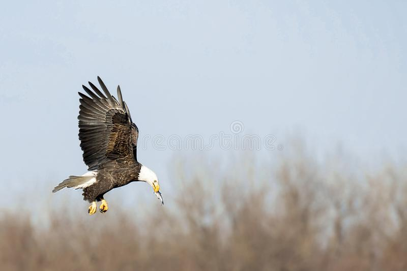 Bald eagle with fish in mouth, flies over river stock photos