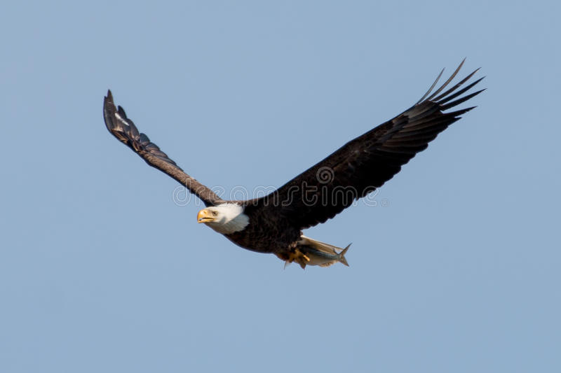 Bald Eagle with fish. Bald Eagle returning to the next with fish. There were two hatchlings to feed royalty free stock photography