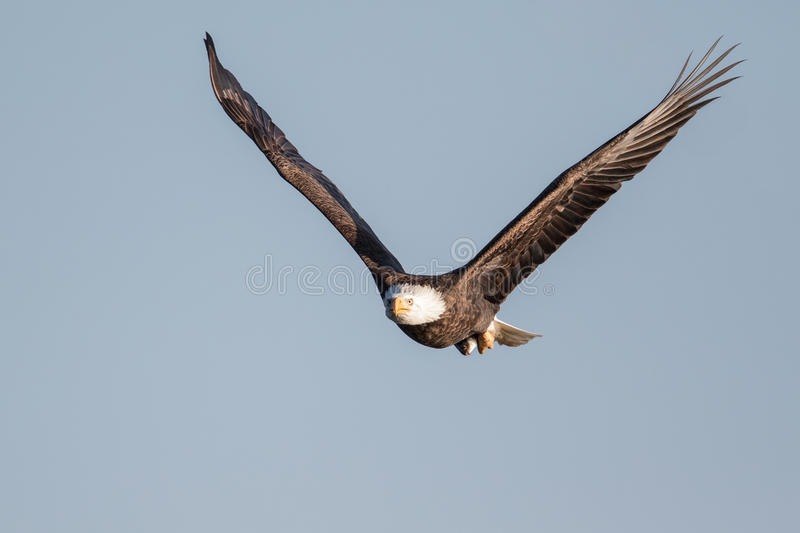 Bald Eagle with Fish. A Bald Eagle stares at the camera while holding its prey in its talons royalty free stock images
