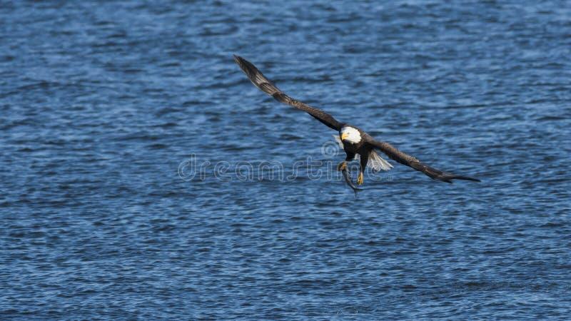 Download Bald eagle fishing stock photo. Image of river, fish - 28994528
