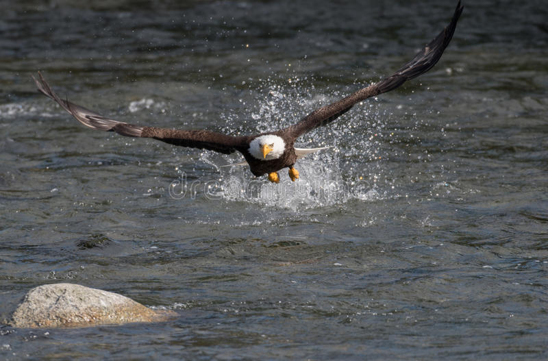 Bald eagle fishing for salmon. A bald eagle hits the water in Brooks River and misses grabbing a sockeye salmon in Katmai National Park, Alaska stock photos