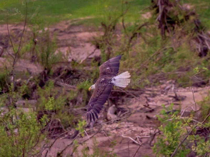 bald eagle flight стоковое фото
