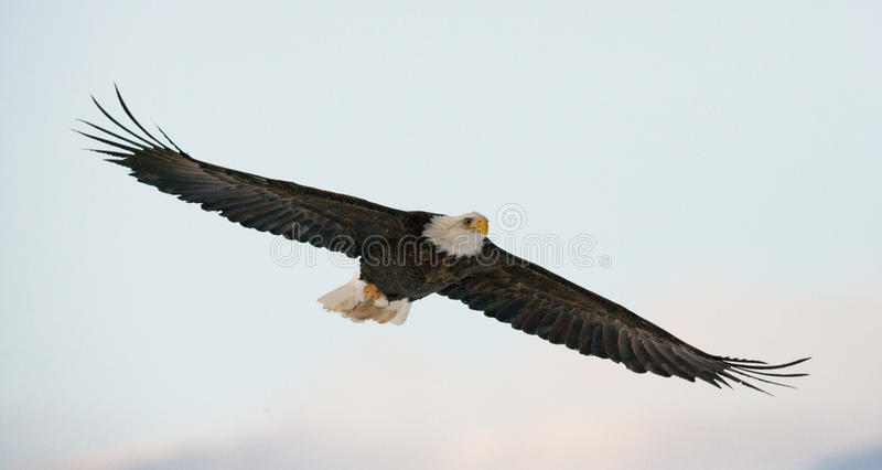 bald eagle flight США albacore Река Chilkat стоковые изображения rf