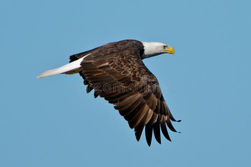 Bald eagle in flight. Adult bald eagle in flight over Forsythe NWR in South Jersey royalty free stock image