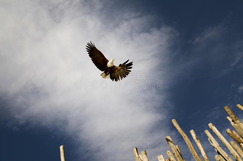 Download Bald eagle in flight stock image. Image of wingspan, blue - 23778211