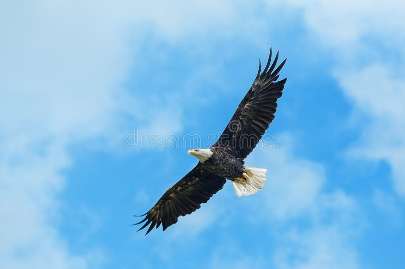 Bald eagle in flight. American bald eagle circling in the air stock photography