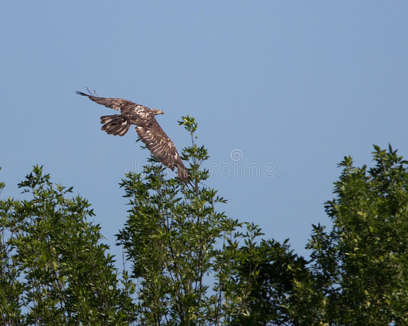 bald eagle flight στοκ φωτογραφίες
