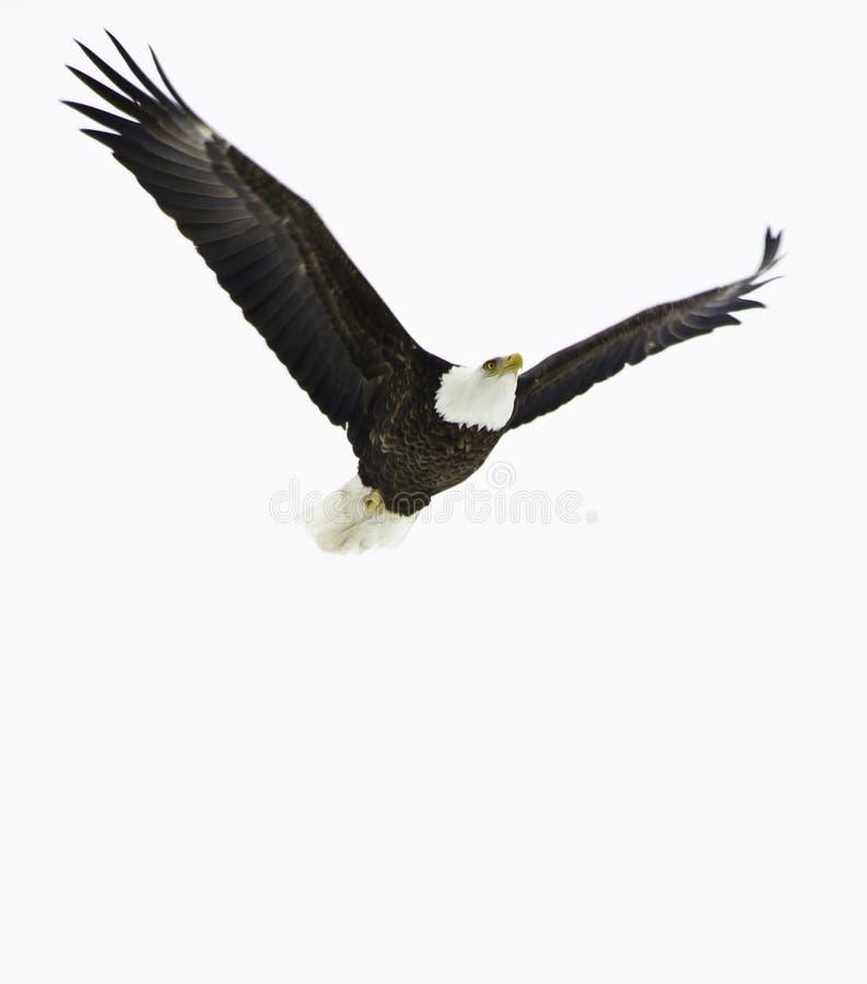 bald eagle flight стоковые изображения