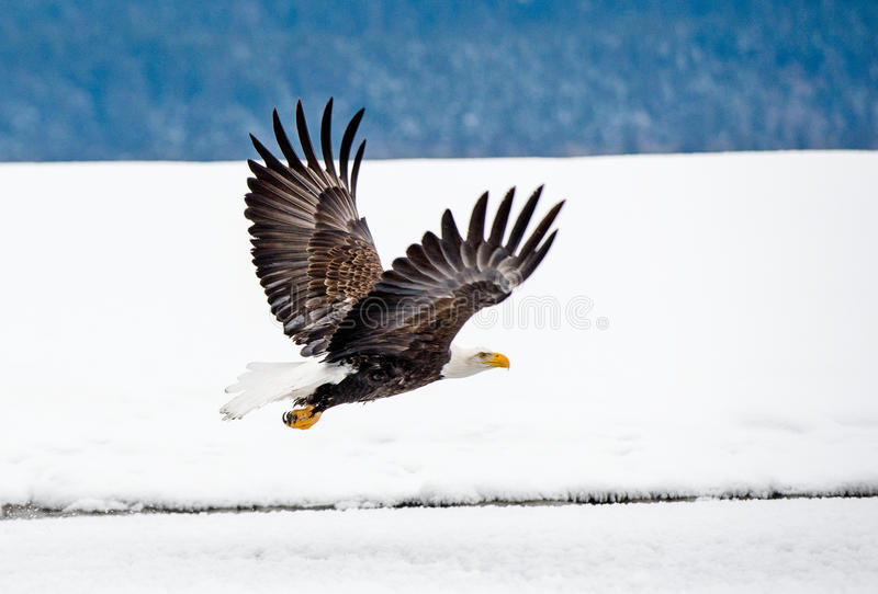 bald eagle flight στοκ εικόνες με δικαίωμα ελεύθερης χρήσης