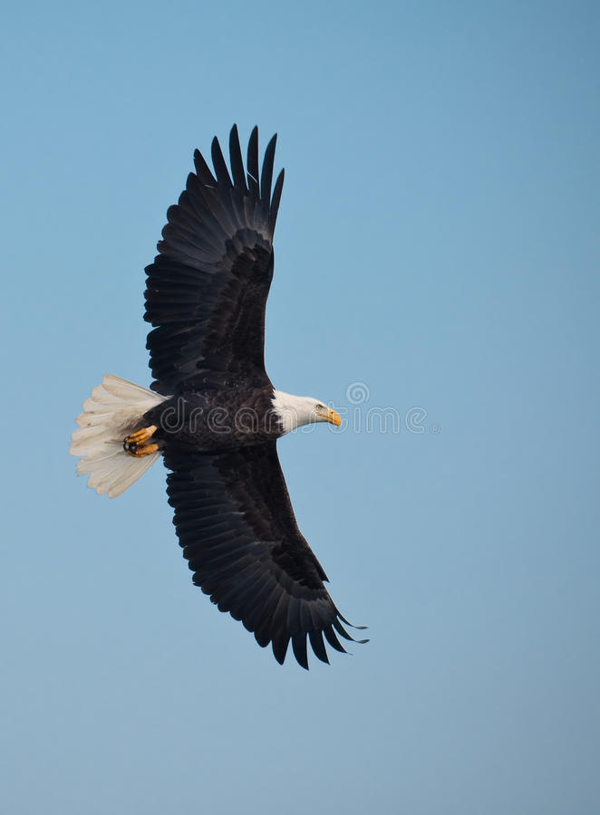 Download Bald eagle in flight stock image. Image of birdwatching - 9749445