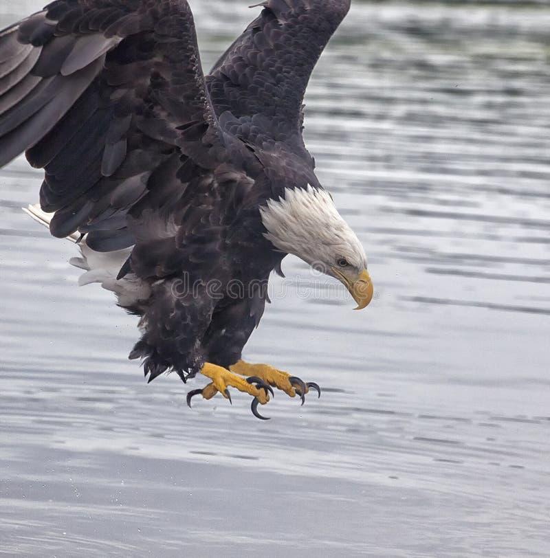 Bald Eagle talons stock photo