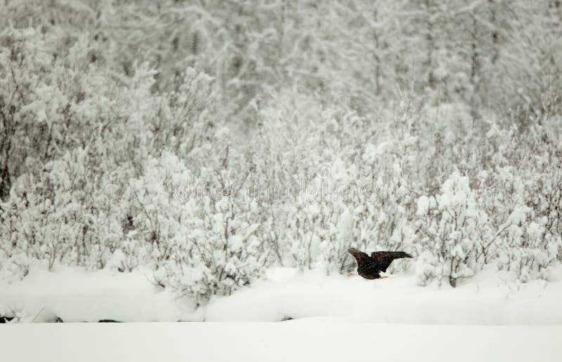 Bald eagle in flight Alaska. Flying Bald eagle ( Haliaeetus leucocephalus) on a decline against snow covered trees royalty free stock image