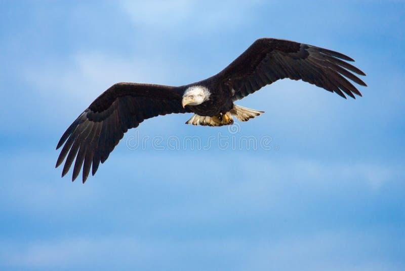 Bald Eagle in Flight, Alaska. Bald Eagle in Flight with blue sky background. Alaska royalty free stock images