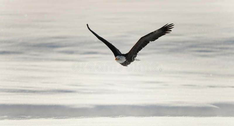 Bald eagle in flight awaiting fish feeding royalty free stock image