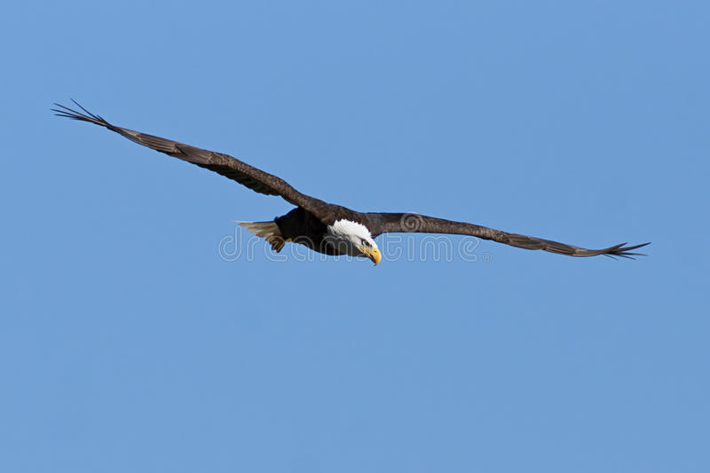 Bald Eagle in Flight. With Blue Sky stock image
