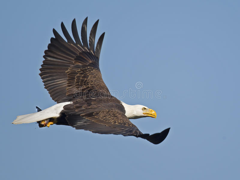 Bald Eagle in Flight with Fish stock photography