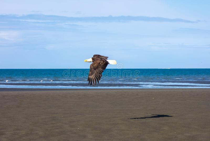 A bald eagle in flight at low tide stock images