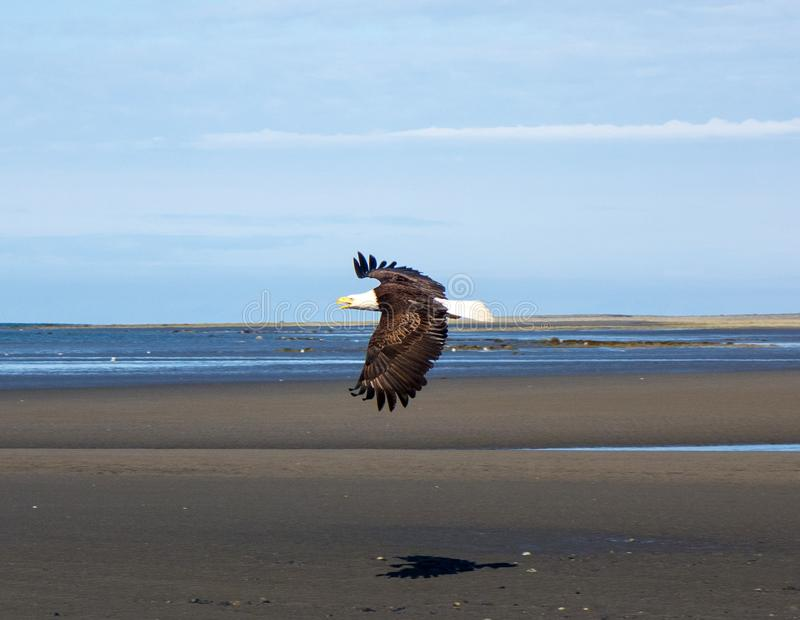 A bald eagle in flight at low tide stock photo