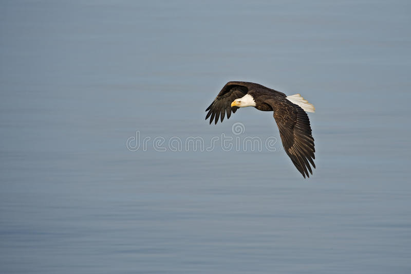 Bald Eagle in flight over water Alaska royalty free stock photography