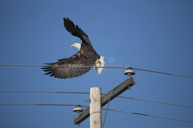 Bald Eagle in Flight. In Saskatchewan Canada royalty free stock photo