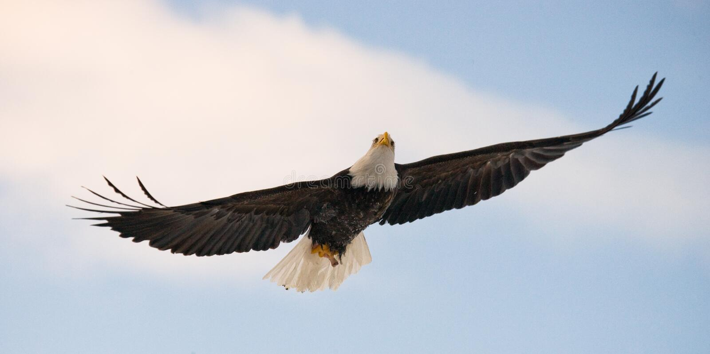 Bald eagle in flight. USA. Alaska. Chilkat River. stock images