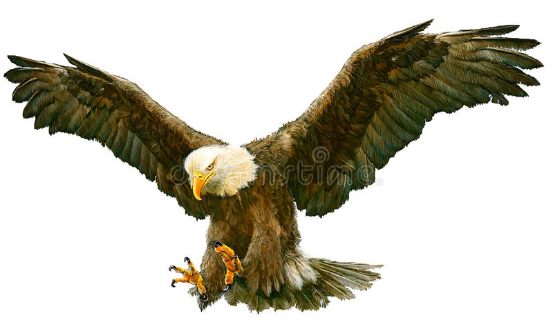 Bald eagle fly landing vector. Bald eagle fly landing hand draw and paint color on white background vector illustration vector illustration