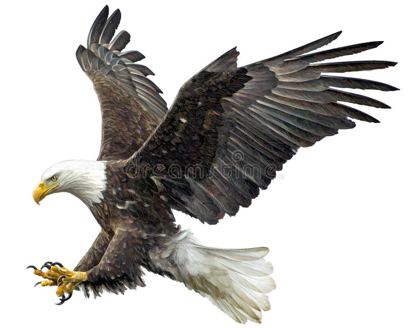 Bald eagle fly landing vector. Bald eagle fly landing hand draw and paint on white background vector illustration stock illustration