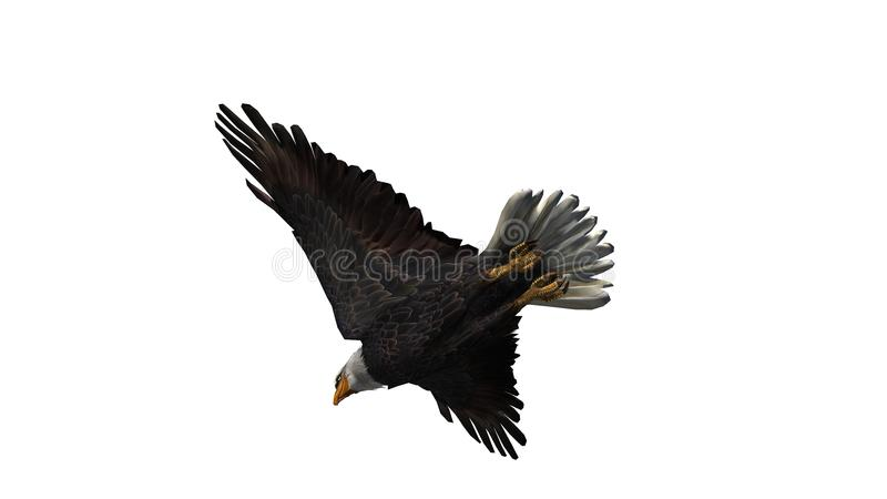 Bald Eagle in fly - white background royalty free stock photo